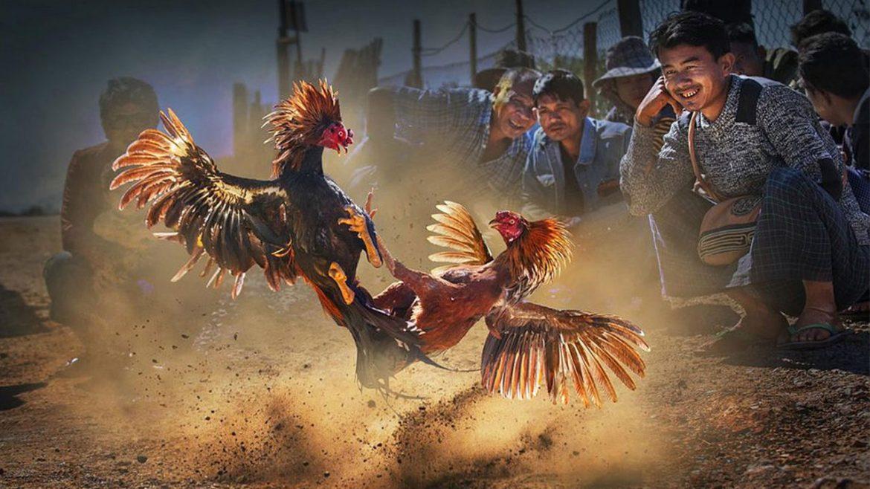 Sejarah Adu Sabung Ayam di Bali