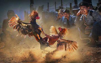 Sejarah sabung ayam di bali